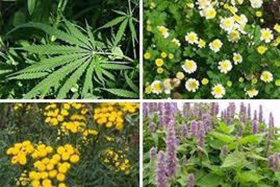 کشت گیاهان دارویی یک تیر با دو نشان!