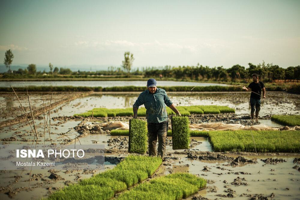 آفتی-به-نام-خرده-مالکیتی-در-صادرات-برنج-مازندران.jpg