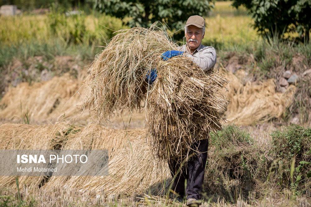 قیمت برنج درگیر و دار واردات