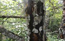 هشدار سازمان جنگلها به شیوع بیماری زغالی در جنگلهای شمال