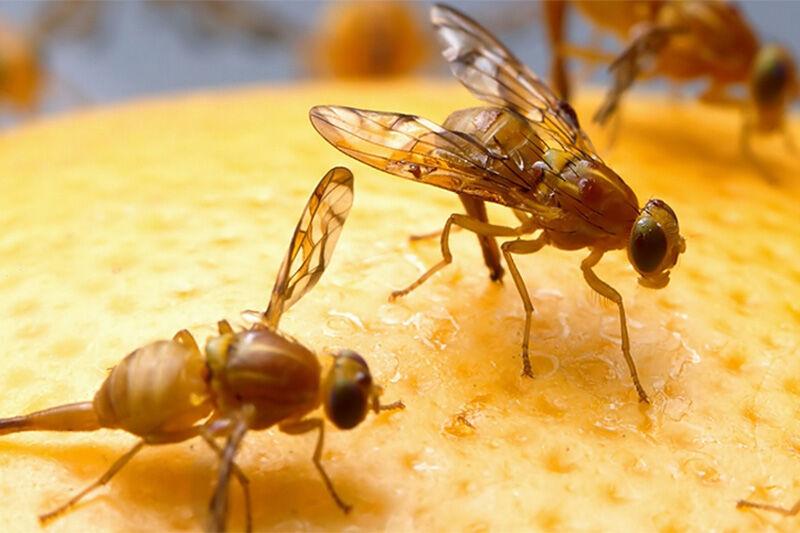 کنترل آفت مگس میوه بدون هزینه امکانپذیر است