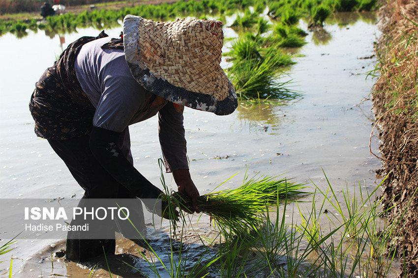 درآمد ۱۰۰۰ میلیاردی با رفع محدودیت کشت برنج