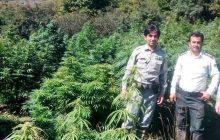 گاوبانگی، مزرعه ماریجوانا در پارک ملی مازندران را لو داد + عکس