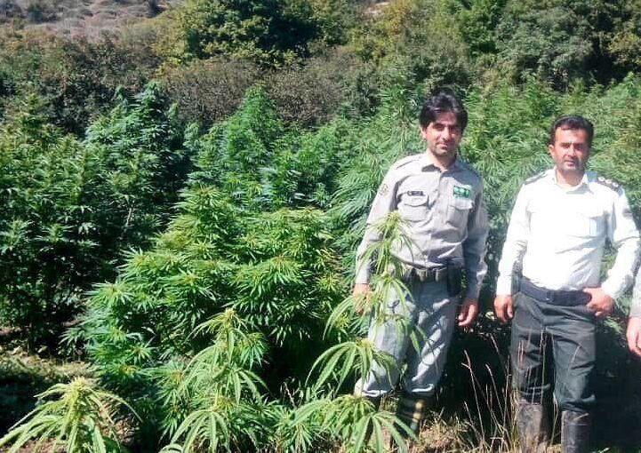 گاوبانگی، مزرعه ماریجوانا در پارک ملی مازندران را لو داد