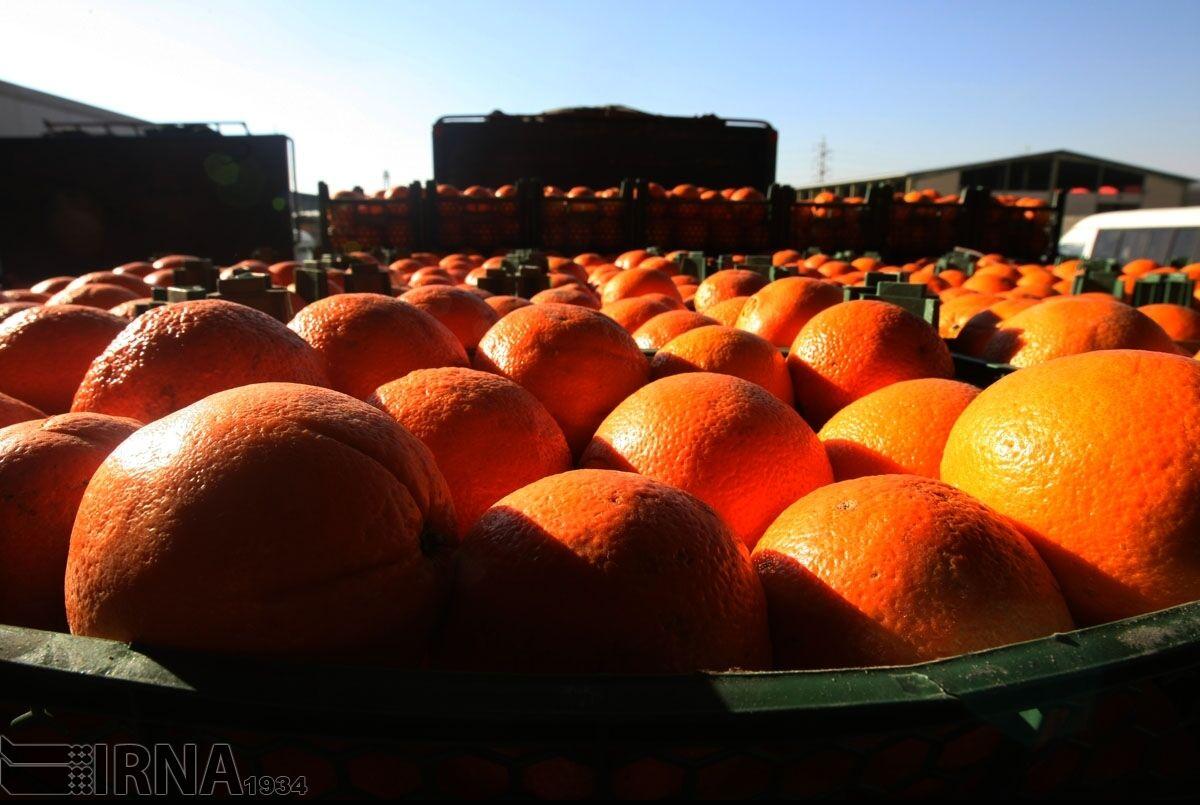 مازندران-۴۰-هزار-تن-پرتقال-شب-عید-کشور-را-تامین.jpg