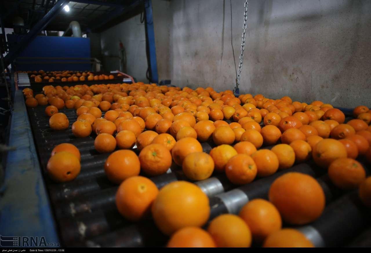 پرتقالهای-شرق-مازندران-بدون-رنگ-افزایی-وارد-بازار-کشور-شد.jpg