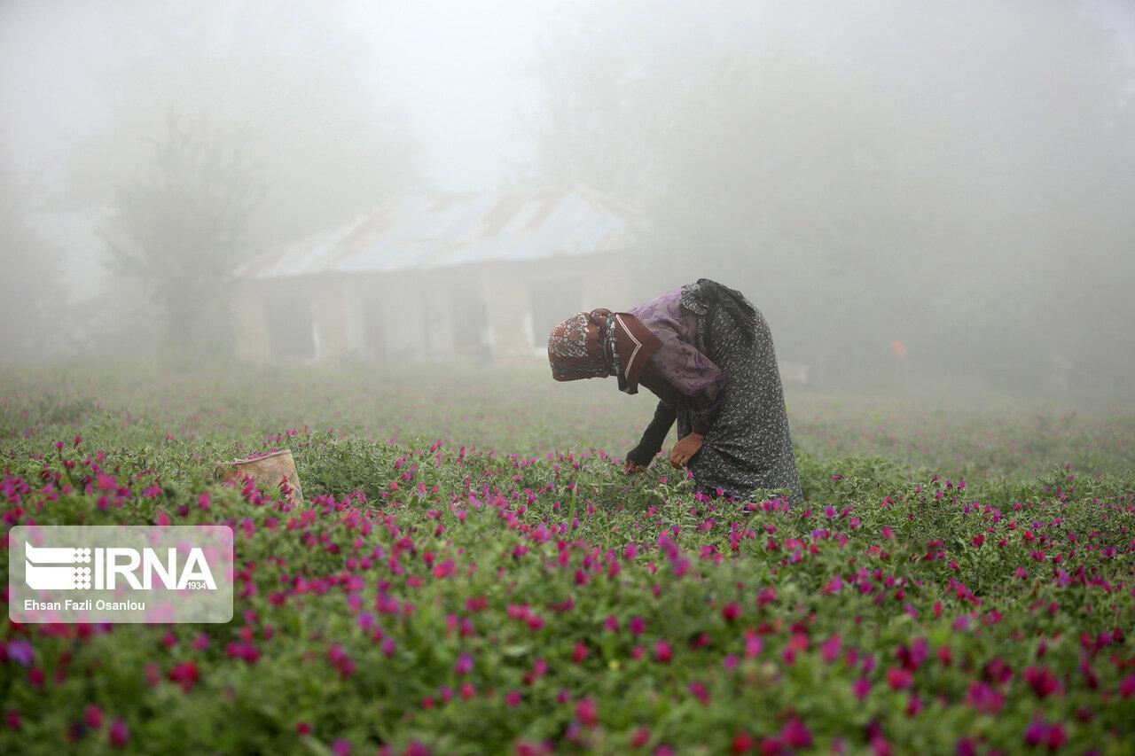 تنوع و زیبایی در عرصه کشاورزی مازندران