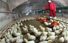 صنعت طیور مازندران پاک از آنفلوانزای مرغی است