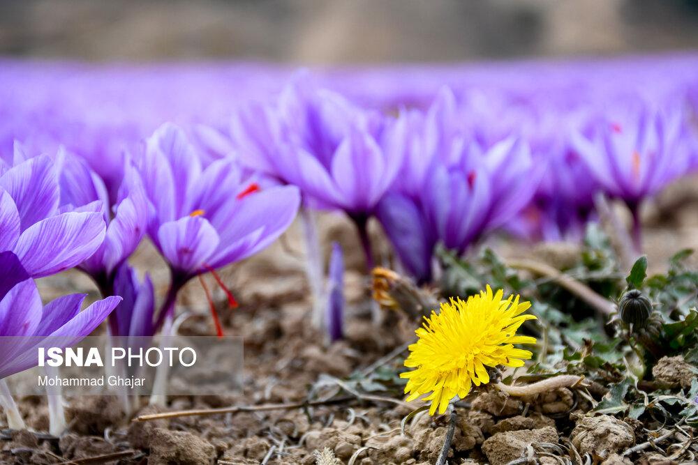 تولید ۱۱ میلیاردی زعفران در مازندران