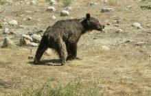 جزئیات ماجرای کشتن توله خرس در سوادکوه
