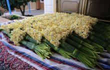 گل نرگس مازندران صادراتی میشود