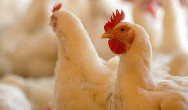 بیش از ۲ هزار بهرهبردار مرغ گوشتی در مازندران فعالیت میکنند
