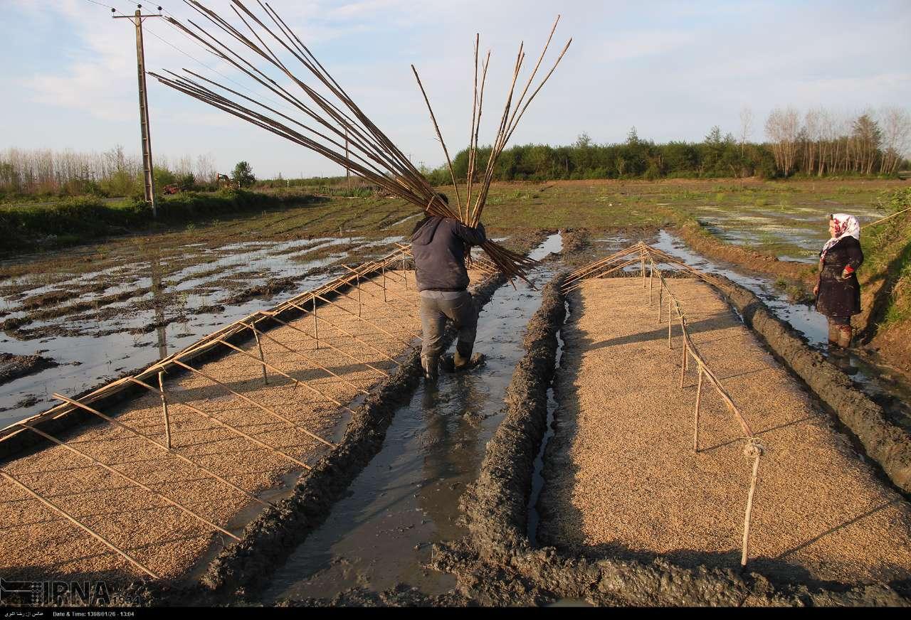 رشد-حدود-۱۷۰-درصدی-تولید-بذرگواهی-شده-برنج-در-مازندران.jpg