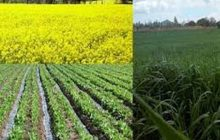 فقدان الگوی کشت؛ کشاورز سر در گم!