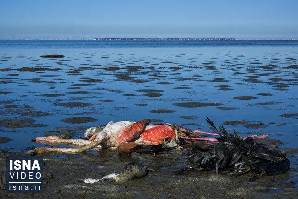 ویدئو / مرگ پر ابهام پرندگان مهاجر در میانکاله
