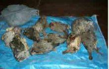 دستگیری شکارچیان غیرمجاز کبک در چهاردانگه