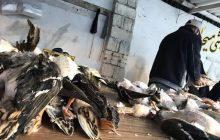 جان سختی بازار پرندگان فریدونکنار حتی در شرایط بحرانی