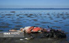 تلفات پرندگان در تالاب میانکاله ادامه دارد