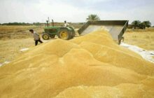 خرید ۴۶ هزار تن گندم از کشاورزان مازندران