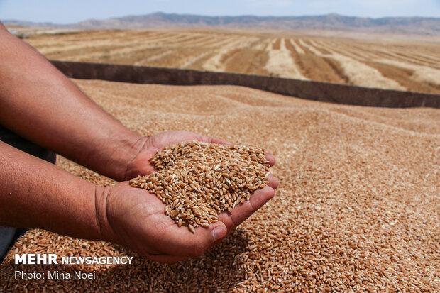 خرید تضمینی ۵۵ هزار تن گندم در مازندران