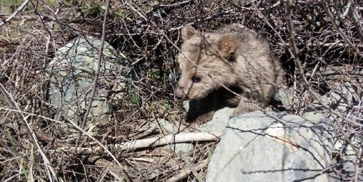 فیلم| دفاع از قلمرو در خرسهای قهوهای