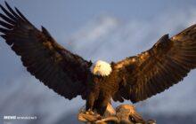 ۴ بهله عقاب تاکسیدرمی دارای ارزش میلیاردی در میاندرود کشف شد