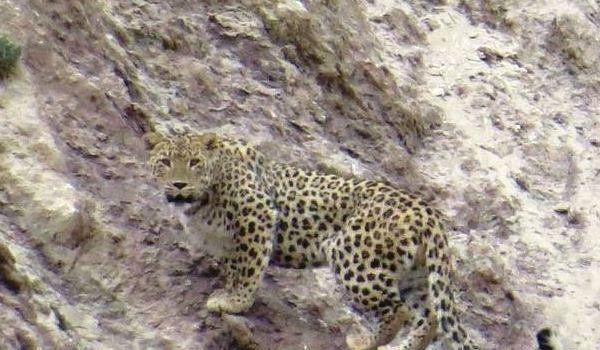 فیلم| خانواده پلنگ ایرانی در منطقه شکار ممنوع سوادکوه