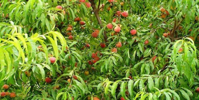 پایان تلخ درختان هلوی میاندورود/ قطع درختان به دلیل نبود توجیه اقتصادی+ عکس