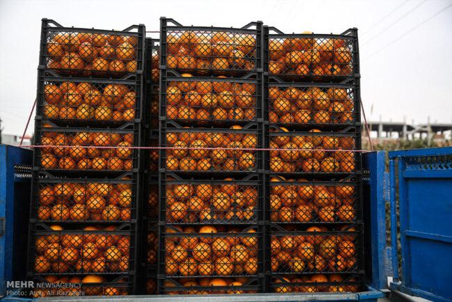 پرتقال شمال هنوز کال است/ دلالی دولت و هزارتوی مشکلات باغداران