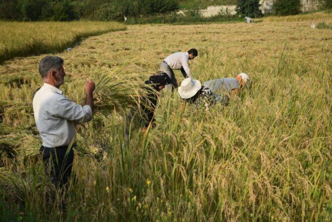 لزوم تشکیل سازمان برنج/ کشاورزی دانش بنیان راهکار رفع مسائل است