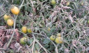 توصیههای جهاد کشاورزی برای مقابله با سرما و یخبندان