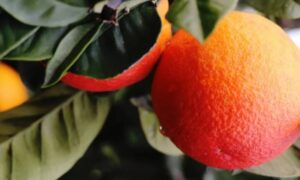هیچ میوهای روی درخت باقی نمانَد/سرمازدگی در کمین مرکبات مازندران