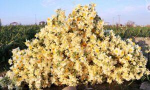 ویدئو کامنت  تولید 80 میلیون شاخه گل نرگس در مازندران