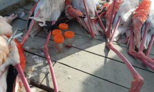 تلف شدن ۱۴ هزار پرنده در میانکاله طی ۲۵ روز