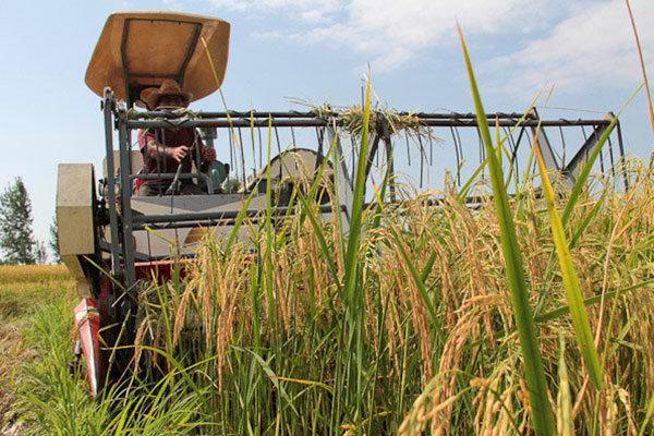 اولین برداشت مکانیزه برنج در بابلسر انجام شد