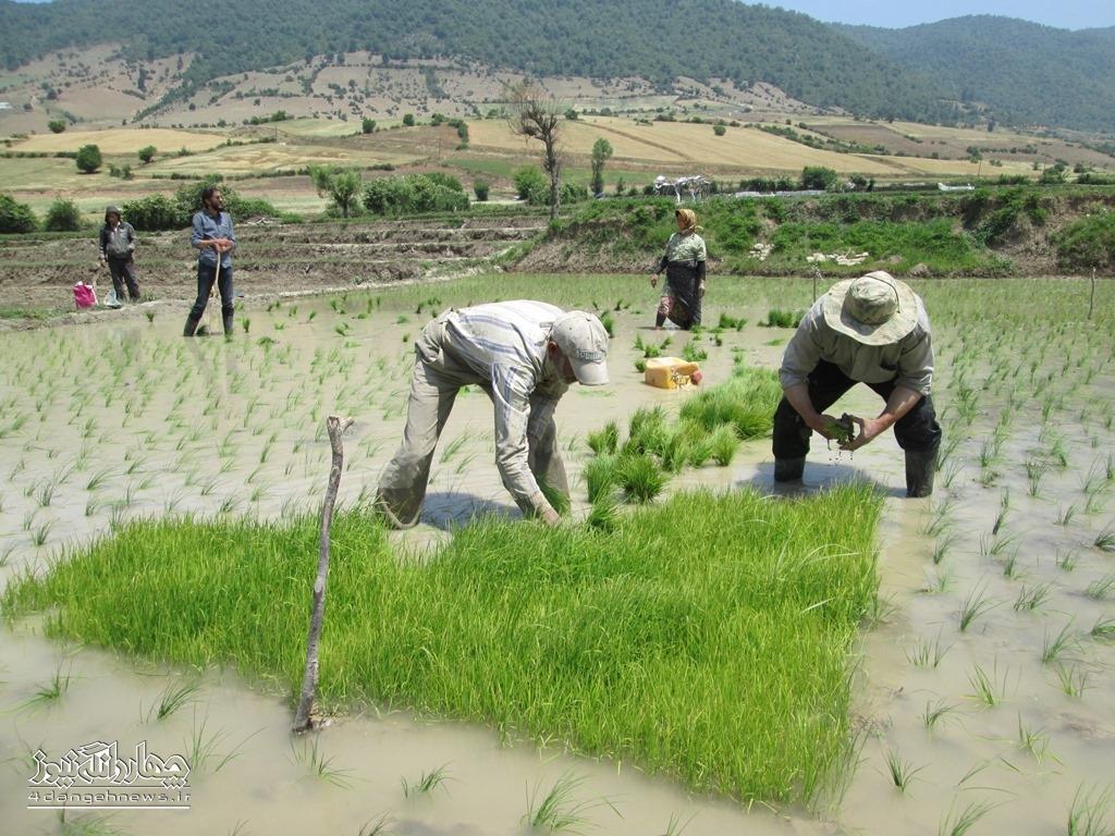 آغاز نشاء برنج در اراضی شالیزاری بخش چهاردانگه + تصاویر