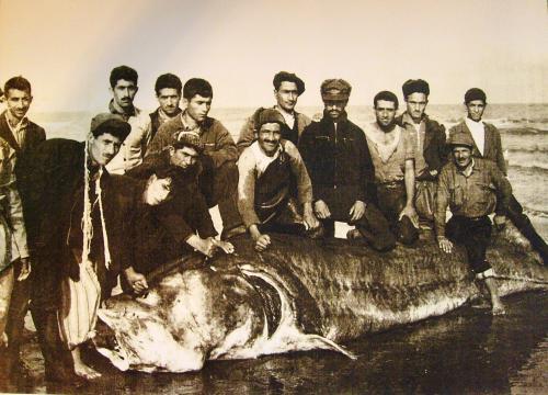 عکس بزرگترین فیل ماهی صیدشده در دریای مازندران/سال ۱۳۱۷