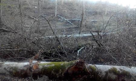 ۹ تصویر از قتل عام درختان جنگلی مازندران