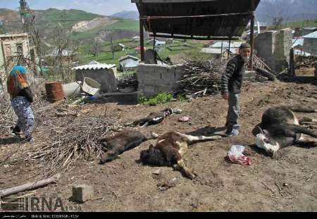 مرگ دهها راس دام در مناطق ییلاقی بهشهر و نگرانی دامداران منطقه