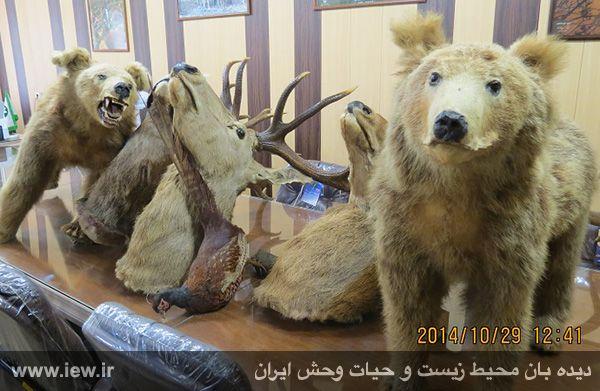 عامل کشتار دو توله خرس قهوه ای و سه مرال در ساری دستگیر شد