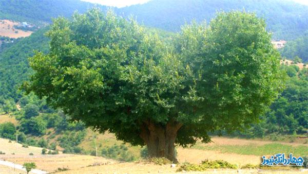 درختی زیبا با شکلی شبیه قلب