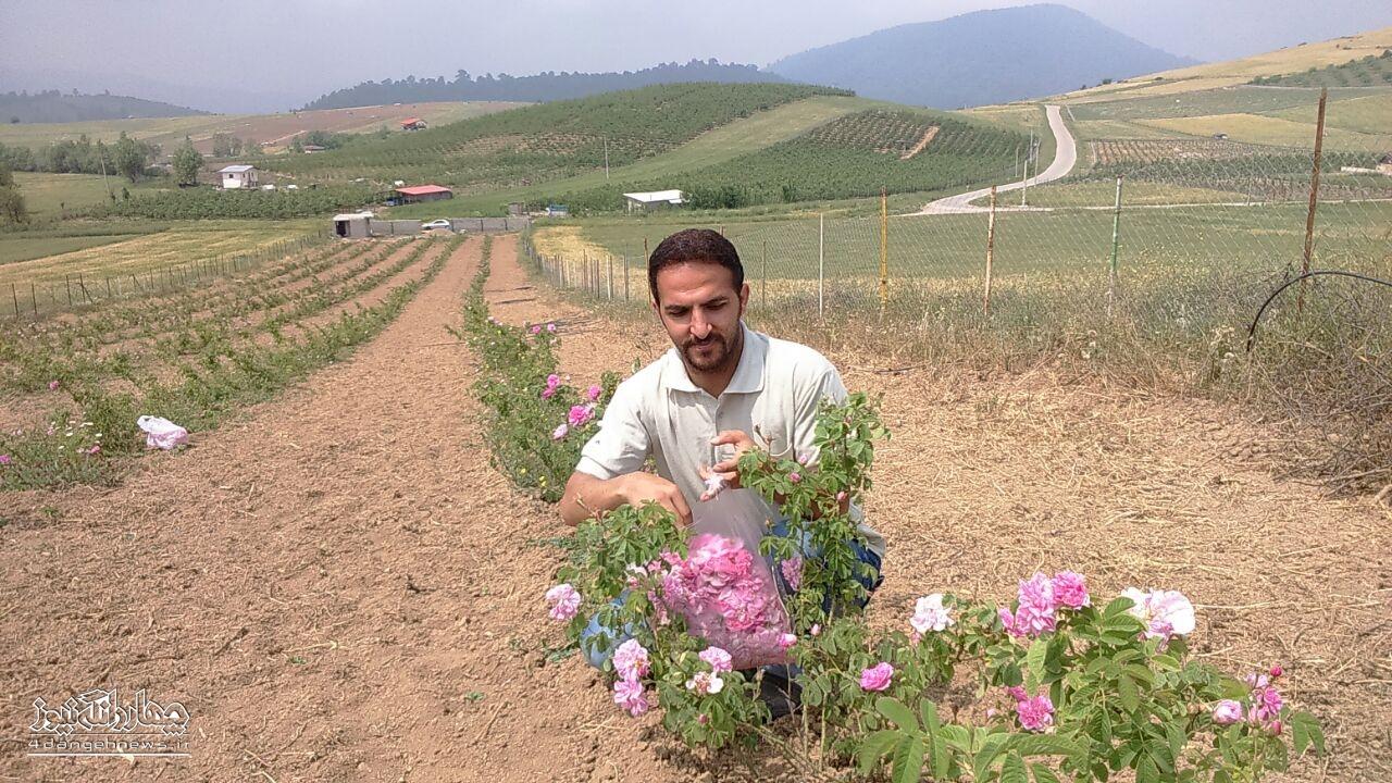 برداشت از اولین مزرعه گل محمدی بخش چهاردانگه +تصاویر