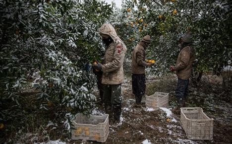 خیز دلالان به سوی باغات مازندران/ هرکیلو پرتقال ۳۰۰ تومان