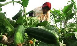 اجرای طرح تولید خیار بدون سموم در چهاردانگه