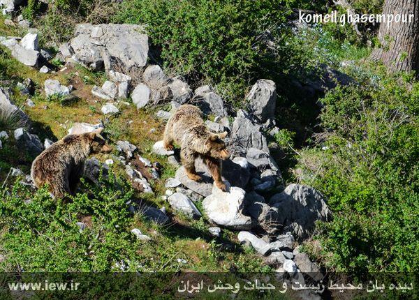معرفی خرس قهوه ای، یکی از حیوانات حیات وحش چهادانگه + تصاویر