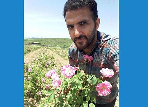 برداشت مزرعه گل محمدی توسط جوان کارآفرین چهاردانگه ای+تصاویر