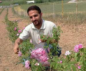 کاشت گل محمدی در چهاردانگه توسعه مییابد