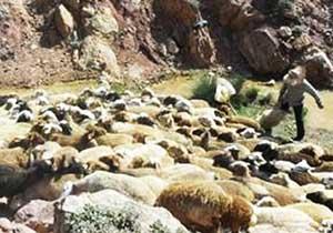 مراسم سنتي گوسفند شويي در دهستان پشتكوه + تصاوير