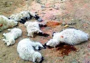حمله گرگهای گرسنه و تلف شدن 46 راس گوسفند در روستای مالخواست