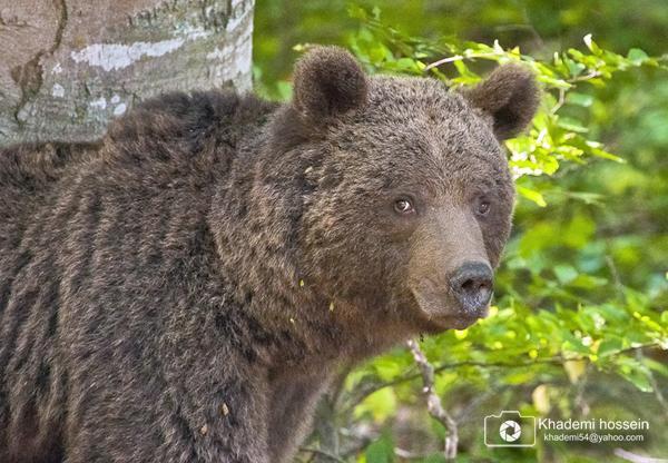 تصاویر زیبای حسین خادمی از خرس قهوه ای چهاردانگه